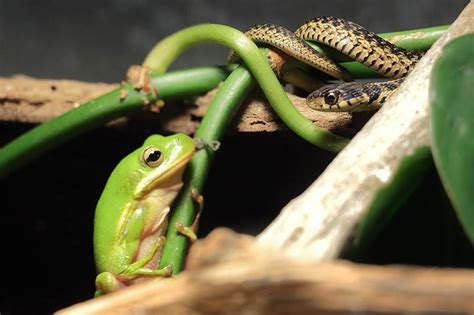 Garter Snake Frog Green Garden Snakes Photos