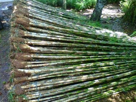 jual pohon bambu jepang tanaman  pagar supplier