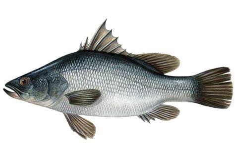 come cucinare il filetto di persico africano specie ittiche in cucina persico africano lates niloticus