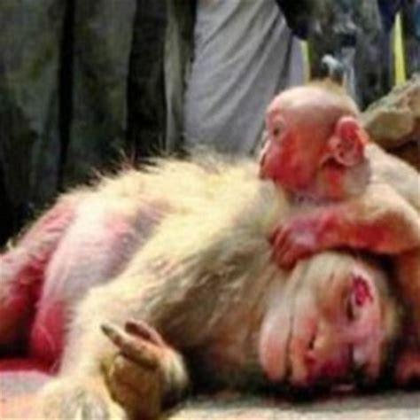 dosa anak membuat ibu menangis ibu mati dilanggar kereta anak monyet ini meraung buat