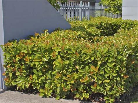 Plants With Red Foliage - viburnum viburnum odoratissimum emerald lustre