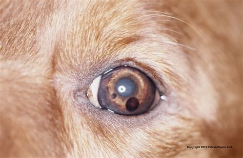 golden retriever eye discharge vetvine forum pigmented masses in anterior chamber