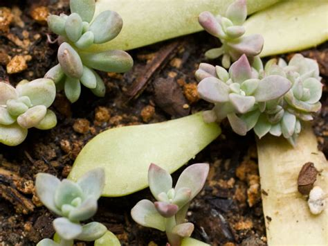 How To Propagate Succulent Leaf Cuttings With Near - self propagating succulents world of succulents