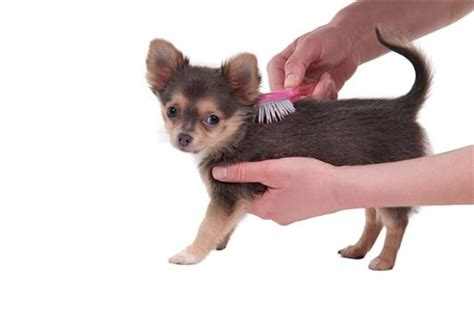 How To Stop Chihuahua From Shedding by Chihuahua Is Shedding What Should I Do Chiwawa Land