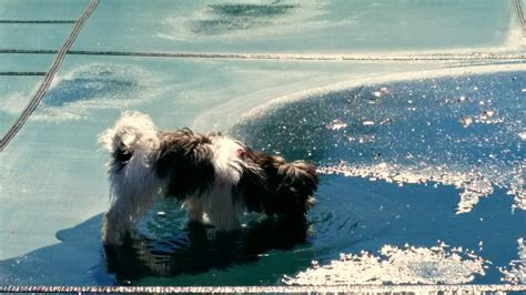 graceful havanese sold puppies alabama havanese