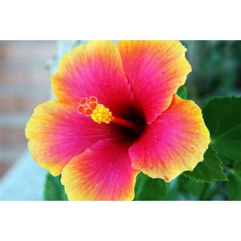 hawaiian yellow hibiscus orange yellow hibiscus hibisco hawaiano matizado hibiscos hawaianos pinterest