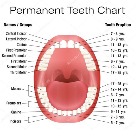 permanent teeth diagram illustration teeth names permanent dentition notation stock