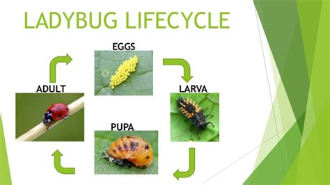ppt the life cycle of ladybugs powerpoint presentation life cycle of a ladybug diyara kumarage