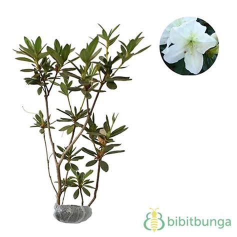 tanaman azalea single white bibitbunga