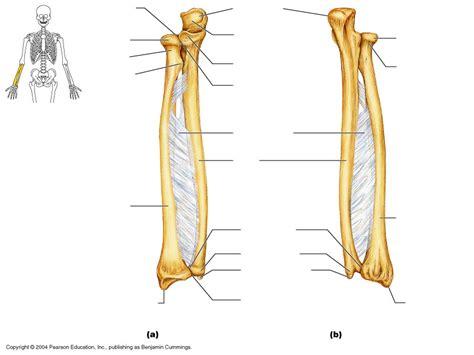forearm bones diagram axial skeleton