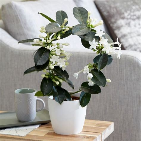 buy stephanotis stephanotis floribunda delivery