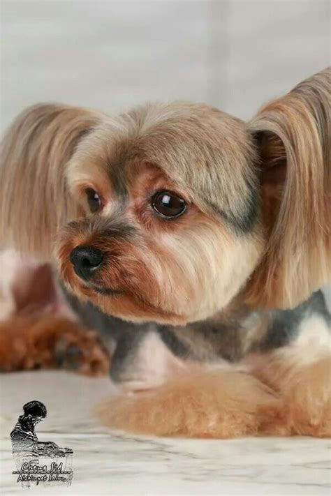 korean yorkie haircuts korean dog grooming style teacup yorkshire terri 235 r