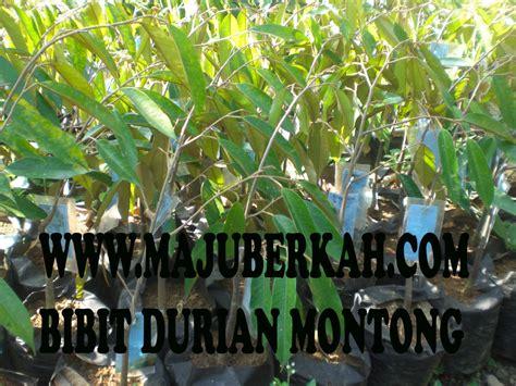 Benih Alpukat Yang Baik biji tanaman buah unggul tanaman buah buahan unggul jual