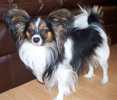 chion havanese puppies papillon mix yorkies schipperke grown papillons or schipperkes dogs