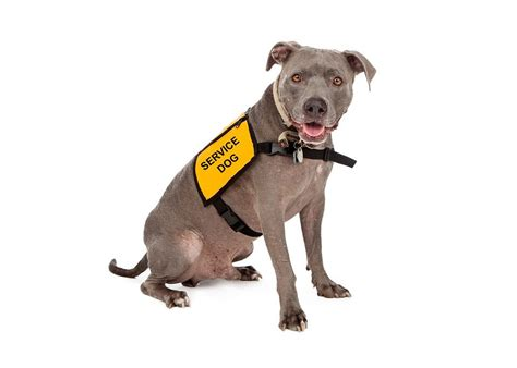 can pitbulls be service dogs indisputable reasons why dogs are better than cats
