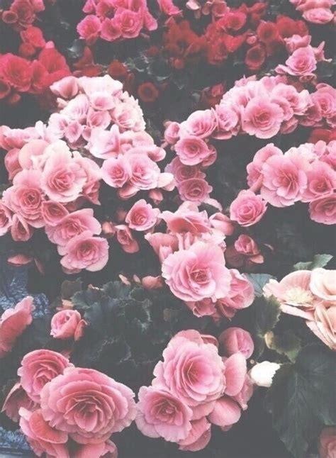 imagenes hipster de rosas tumblr r 243 żowe r 243 że tapeta kwiaty obraz 3842868 od
