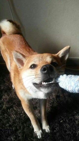shiba inu puppies seattle 1000 images about shiba inu on akita shiba inu puppies and best dogs
