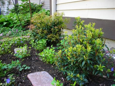 the new shrubs are a pieris andromeda on the left and a