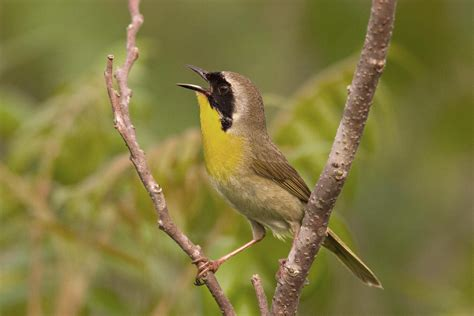 common yellowthroat audubon field guide