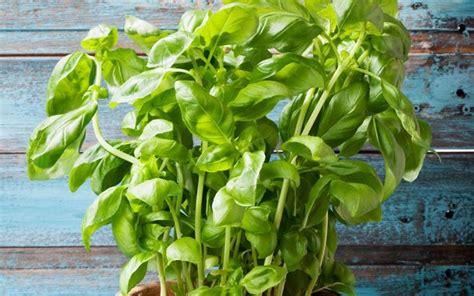 come mantenere il basilico in vaso seminare il basilico aromatiche consigli per seminare