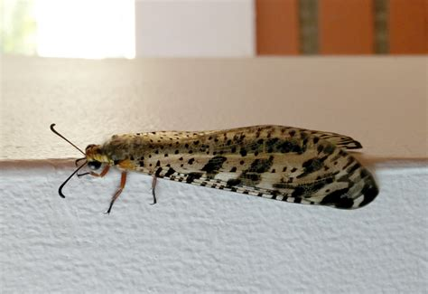 doodlebug insect facts neuropterans lacewings antlions and owlflies archives