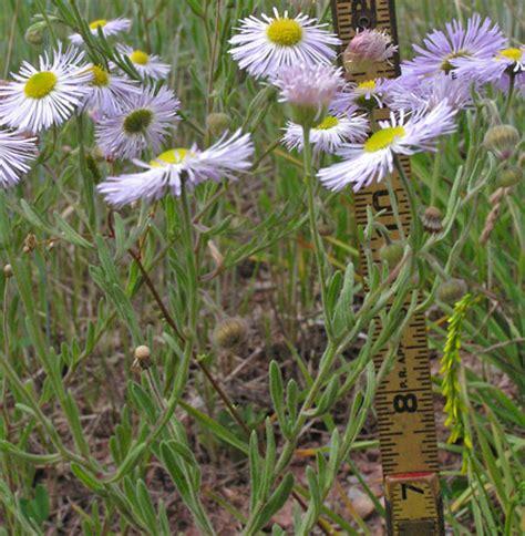 southwest colorado wildflowers, erigeron divergens