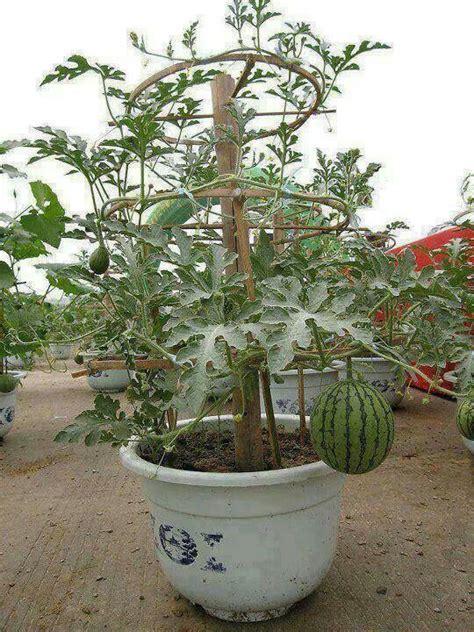 Watermelon Planter by Watermelon Plant Melancia