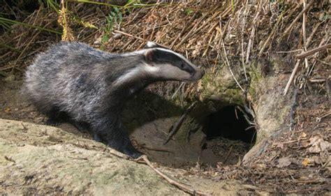 experts say the badger killings should not go ahead