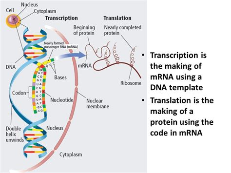 what is the template for transcription chapter 15 protein synthesis ppt