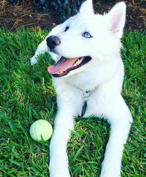 dogs with 20 amazing husky pictures images photos wallpapers picsmine