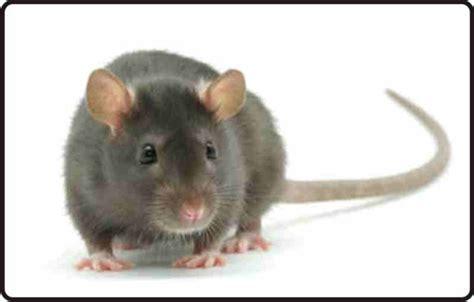 animals plants rainforest rats sle pictures