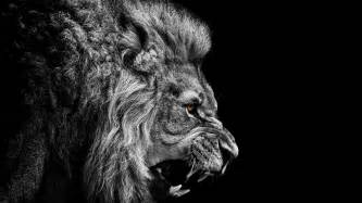 lion black and white hd background wallpapers 6360 amazing wallpaperz