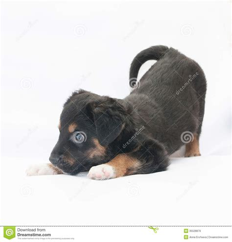 small black and brown small black puppy with brown spots plays royalty free stock images image 35528879