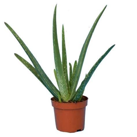 Aloe Vera Plante aloe vera plantes et jardins