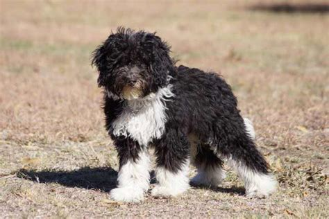 collie doodle puppies for sale bordoodle breed 187 information pictures more