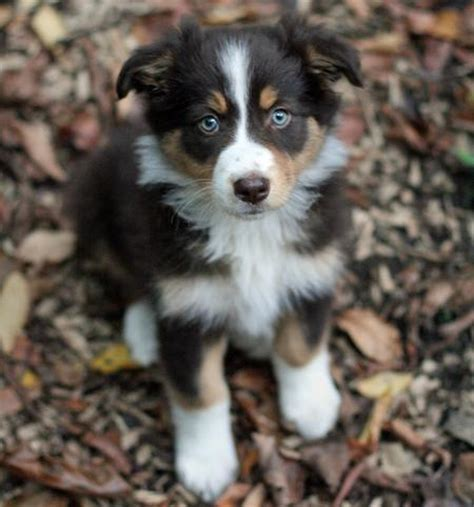 australian sheperd puppy 5 tips for finding the australian shepherd puppy canineplanet net