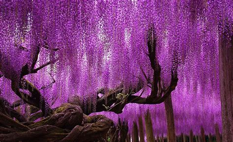 wisteria in japan this 144 year old wisteria is the largest of its kind in japan