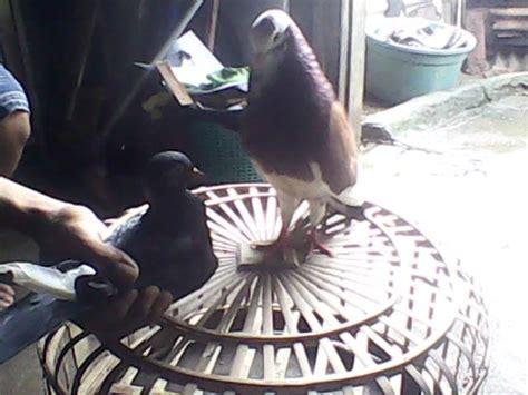 Jual Bibit Ikan Bawal Malang jual beli burung merpati tinggian kolongan beranda
