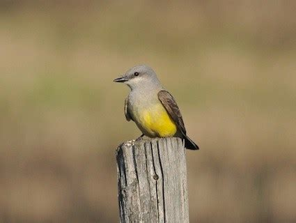 key to kingbirds: keep looking up | albuquerque journal