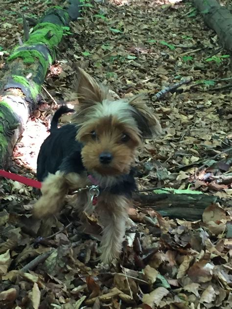 wanted yorkie puppy miniature yorkie 4ever home wanted aberdeen aberdeenshire pets4homes