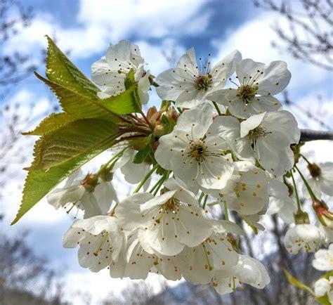 alberi in fiore alberi in fiore excellent alberi da frutto in fiore with