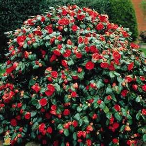 Large Artificial Topiary Trees - red yuletide camellias for sale the planting tree