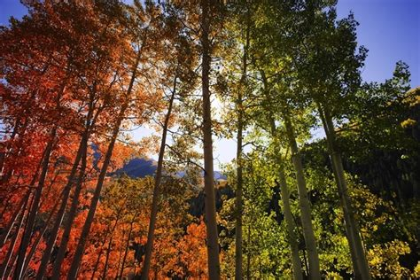 color changing tree colorful leaves of colorado s aspen trees my modern met