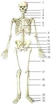 Biology skeletal system amp bones of human body i info page