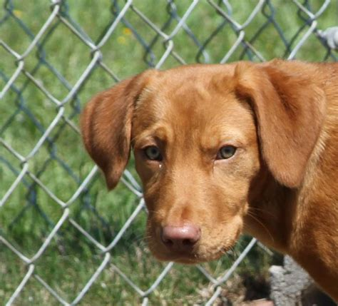 golden retriever weimaraner mix vizsla lab mix puppies breeds picture