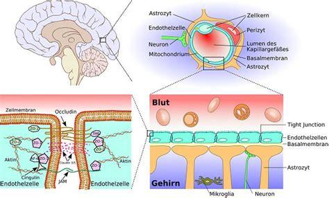blut liquor schranke ワクチンと血液脳関門 by david rothscum 3 さてはてメモ帳 imagine think