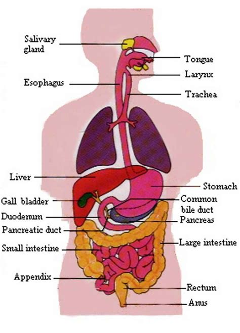 labeled digestive system diagram digestive diagram labeled anatomy organ