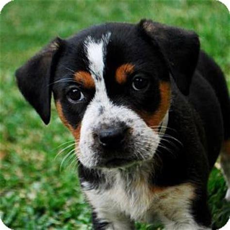 rottweiler bernese mix adopted puppy a505245 torrance ca bernese mountain rottweiler mix