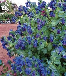 cerinthe major purpurascens quot blue honeywort quot buy online at annie s annuals
