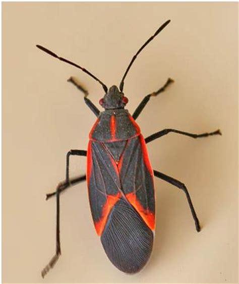Spray For Carpet Beetles by Boxelder Bug Management Habitat Size Life Span